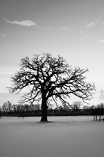 An oak standing alone